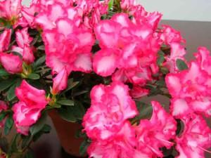 Комнатные цветы выращивание и фото. Азалия