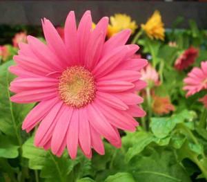 Комнатные цветы выращивание и фото. Гербера