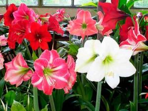 Комнатные цветы выращивание и фото. Гиппеаструм