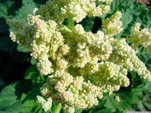 Ревень выращивание и польза, рецепты. Фото