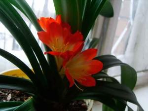 кливия, уход в домашних условиях, фото цветов кливии