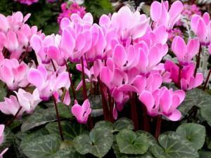 Цикламен - домашний цветок, содержание и уход в домашних условиях. Фото