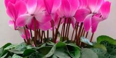 Цикламен - домашний цветок. Уход в домашних условиях. Фото и условия содержания
