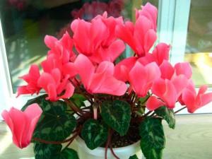 Цветок цикламен фото