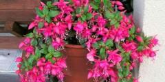 Фуксия выращивание и уход в домашних условиях, цвет фуксия фото