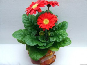 Цветы герберы уход, размножение и фото