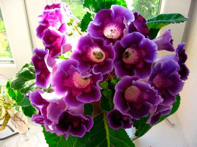 Цветы глоксиния уход размножение 68