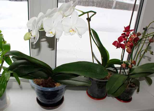 Орхидея уход полив в домашних условиях