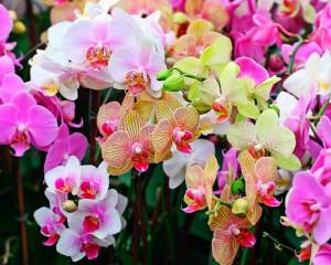 Орхидея уход в домашних условиях, полив орхидеи, фото