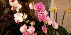 Орхидея фаленопсис фото. Уход в домашних условиях, пересадка