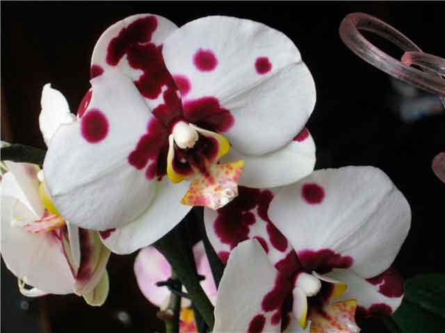 Орхидея фаленопсис - самая неприхотливая и распространенная для выращивания в домашних условиях, не требующая особого ухода. Фаленопсис фото