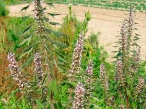 Лекарственная трава пустырник, применение настойки, фото