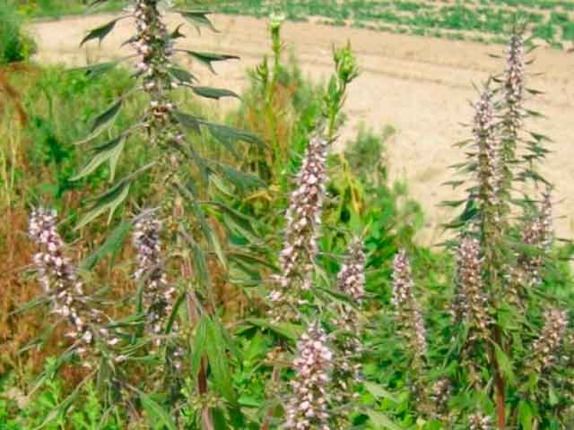 пустырник трава  где растет