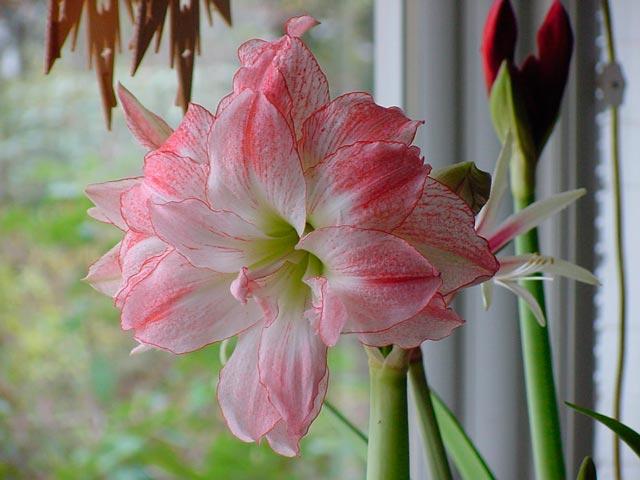 Амариллис цветок фото