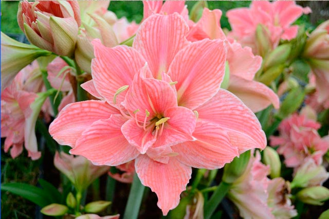 Амариллис красивый цветок, уход в домашних условиях, фото