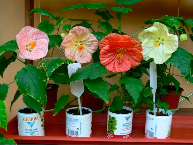 Цветок абутилон.фото
