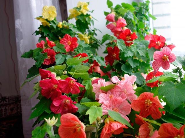 Комнатный цветок абутилон, уход в домашних условиях, размножение семенами и черенками, фото