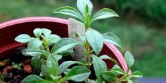 Трава чабер многолетний посадка, уход, размножение, фото