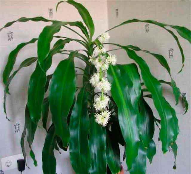 выращивание и уход за фикусами в домашних условиях