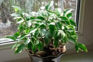 Фикус бенджамина уход и выращивание в домашних условиях, фото