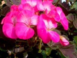 Герань розовая фото цветов