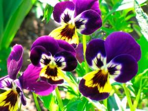 Цветы анютины глазки, фото