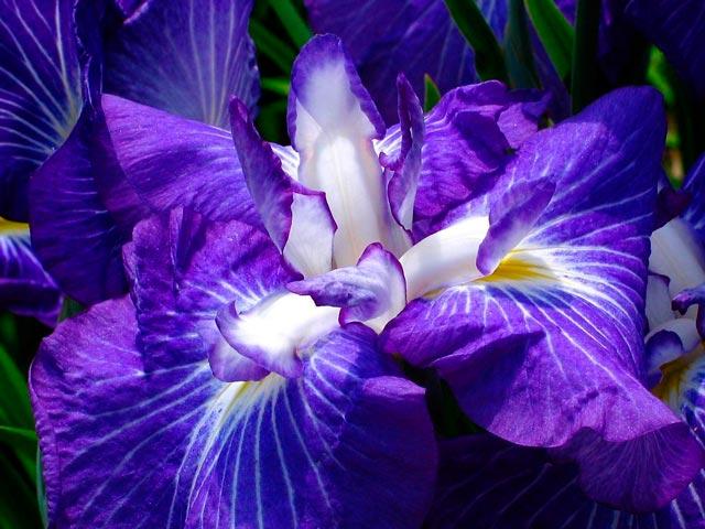 Что же это за красавцы ирисы? Какие разновидности бывают, как сажать и ухаживать за ирисами. Ирисы красивые фото цветов. Основные условия выращивания ирисов
