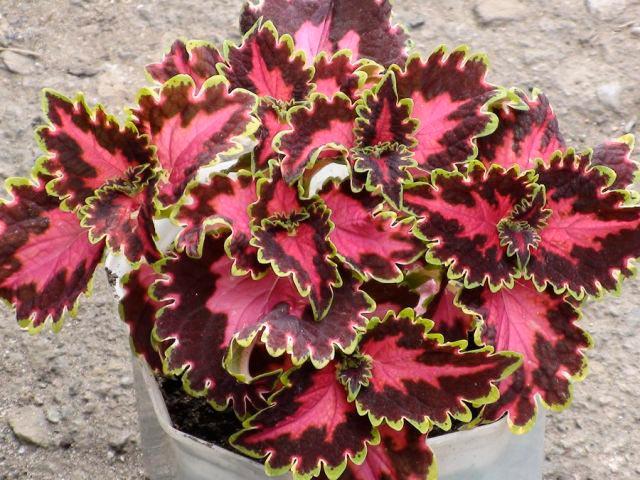 Уход за цветком колеус в домашних условиях 75
