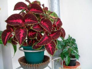 Колеус - уход за цветком в домашних условиях, размножение, фото