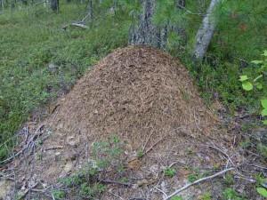 Муравьиное снадобье (масло), фото