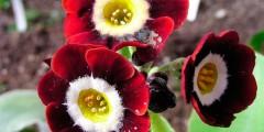 Примула - красивый первоцвет, посадка и уход за цветами, фото