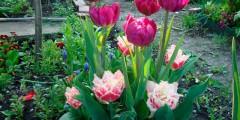 Тюльпан история и фото цветов