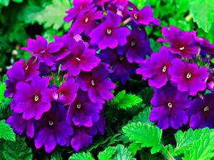 цветы вербена посадка и уход, фото