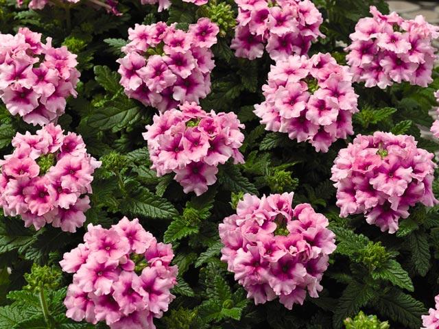 Вербены цветы