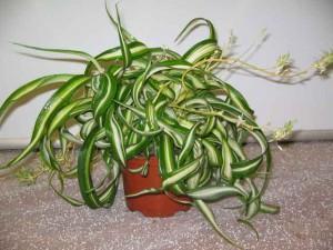 Хлорофитум уход в домашних условиях, домашний хлорофитум фото