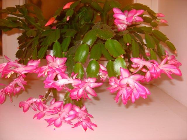Цветы декабрист примула где купить испполнеие желаний в подарок любимому мужчине