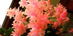 Домашний цветок декабрист, уход в домашних условиях и фото