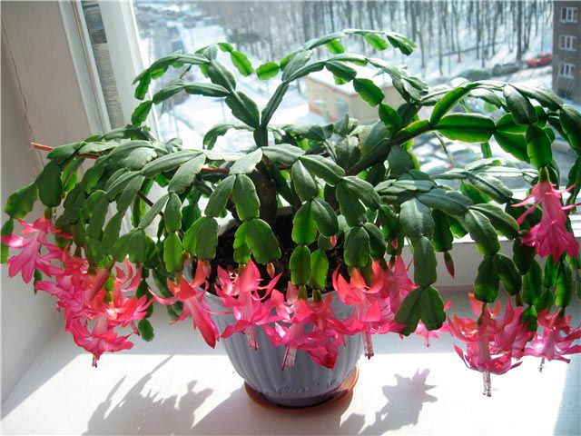 Кала цветок домашний уход