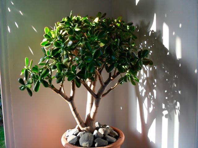 Цветок денежное дерево  уход