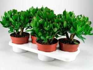 Цветок толстянка (денежное дерево) выращивание, уход в домашних условиях, фото