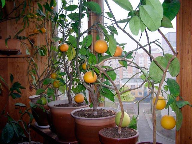 Лимон выращивание в домашних условиях, уход за лимоном, фото