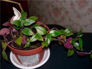 Традесканция - комнатное растение, размножение и уход в домашних условиях, фото
