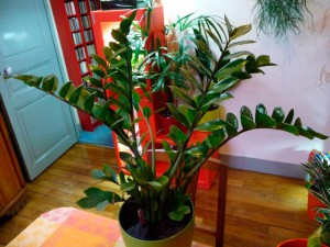 Замиокулькас - цветок безбрачия, уход в домашних условиях и фото