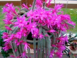 Апорокактус фото цветущего кактуса