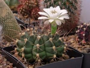 Гимнокалициум фото цветущего кактуса
