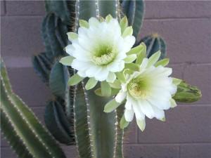 Цериус фото цветущего кактуса