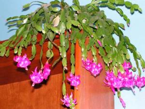 Зигокактус фото цветущего кактуса