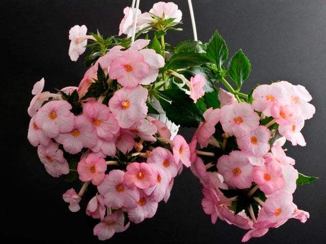 Ахименес фото. Какой должен быть уход и как выращивать цветок ахименес в домашних условиях. Как размножается цветок ахименес