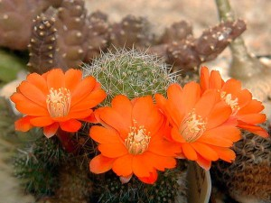 Айлостера фото цветущего кактуса
