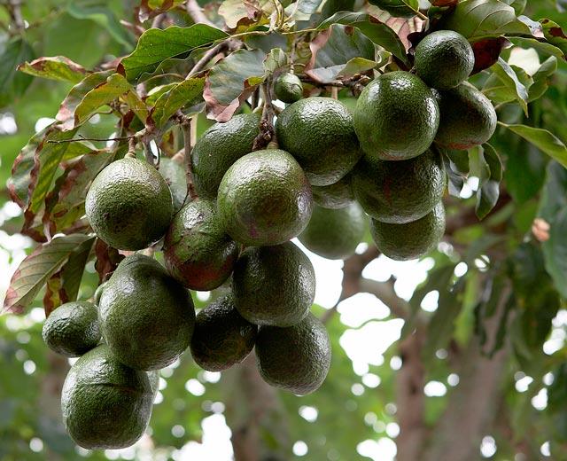 Авокадо полезные свойства, вырастить дома, фото